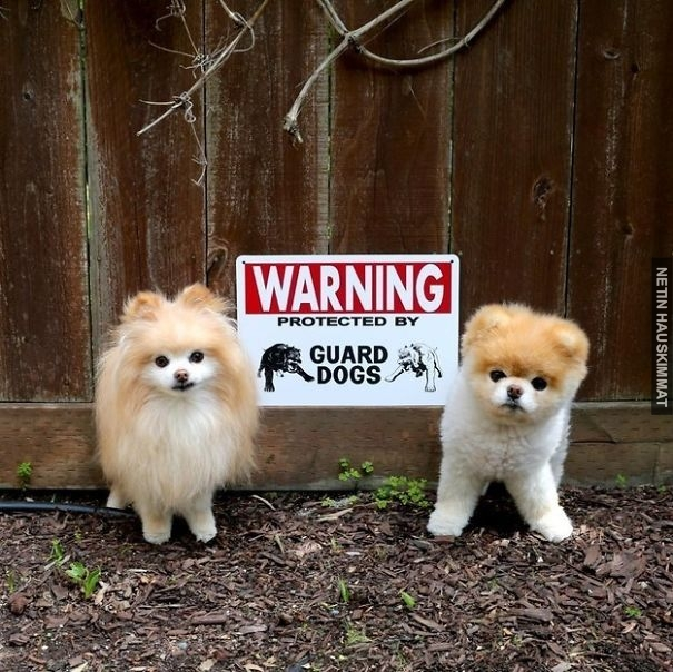 24-vicious-dogs-that-make-the-beware-of-dog-sign-totally-useless-03