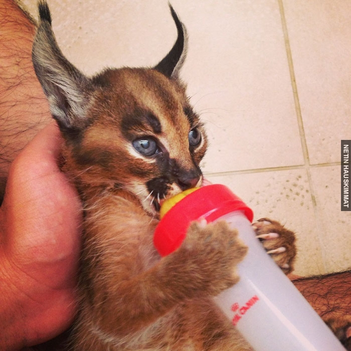 cute-baby-caracals-7-57fb5c83cc227__700