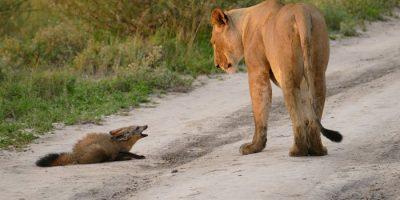 Naarasleijona huomaa vahingoittuneen ketun – mitä se tekee seuraavaksi on uskomatonta!