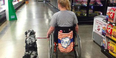 Tämän takia palveluskoiria ei saa silittää ilman lupaa – lue Haileyn tarina!