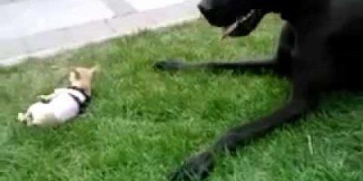 Chihuahua vs. tanskandoggi. Tämän videon ovat katsoneet jo miljoonat!