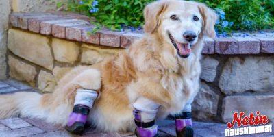 Tässä on Chi Chi terapiakoira, jonka neljä jalkaa on amputoitu!