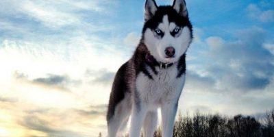 Kaikka koirat ovat ihania, mutta huskyissa on sitä jotain