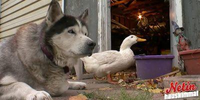 Voivatko koira ja ankka olla ylimmät ystävät? – Katso ja hämmästy!