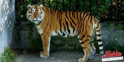 Siperian tiikeri hyökkäsi 16-vuotiaan eläinhoitajan kimppuun!