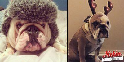 Nämä suloiset bulldogit sulattavat sydämesi! – Katso söpöt kuvat!