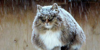 Siperiassa on farmi, joka on täynnä pörröisia kissoja – tässä on päivän piristys!