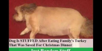 Koira söi perheen joulukalkkunan – ei kyennyt liikkumaan!