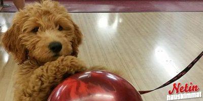 Blake koira rakastaa keilaamista yli kaiken!