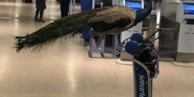 Naisen henkistä tukieläintä, riikinkukkoa, ei päästetty lennolle – se sai Instagramin kohisemaan!