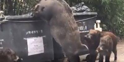 Jättimäinen villisika esikoulun takapihalla Hong Kongissa – katso viraali video!