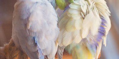 Omistaja dokumentoi näiden papukaijojen rakkauselämää – tulokset satumaisia!