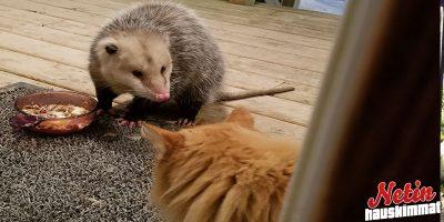Pussirotta varastaa kissan ruoat! – Katso kissan hulvaton reaktio!