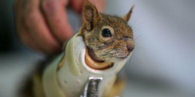 Orava sai prosteettiset etujalat – selvityy nyt itse!