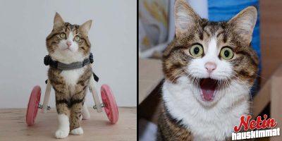 Suloinen liikuntarajoitteinen Rexie-kissa valloittaa myrskyn lailla! – Katso hellyttävät kuvat!