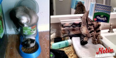 Näille pöhköille kissoille ei voi muuta kuin nauraa! – Katso hassut kuvat!