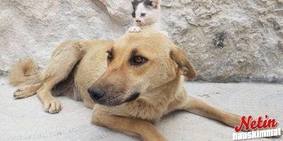Koira alkoi emoksi kissanpennulle! – Emo oli menettänyt juuri omat pentunsa!
