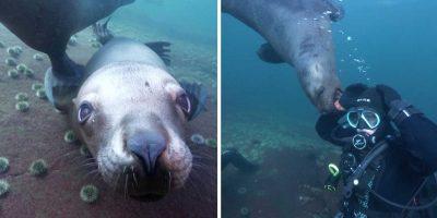 Merileijonat leikkivät sukeltajien kanssa! Melkoinen näky!