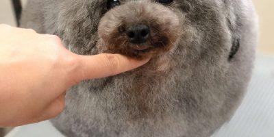 Japanilainen koirahoitaja tekee muodonmuutoksia koirille – uskomattomat kuvat!