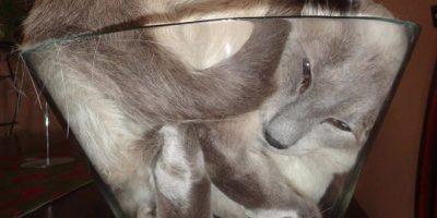 Nämä kissat ovat kuin nestettä – ottavat muotonsa missä vain