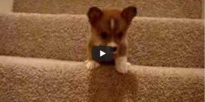 Koiranpennun yritys laskeutua portaita saa meidän sydämemme sulamaan!