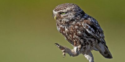 Kävelevät pöllöt – miksi näissä on jotain huvittavaa?