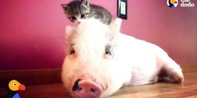 Possu kasvoi kissojen joukossa – nyt se luulee olevansa yksi heistä!