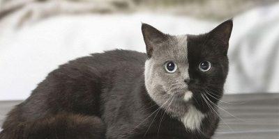 """Harvinaisesta kissasta joka syntyi """"kaksinaamaisena"""" kasvoi uskomattoman kaunis ilmestys – Katso kuvat!"""