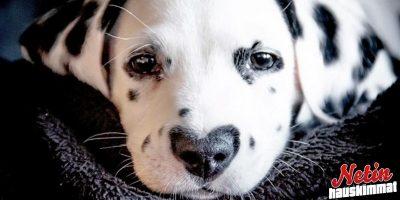 Wiley koiralla on sydämen muotoinen täplä nenän päällä! – Ihmiset ovat aivan rakastuneita!
