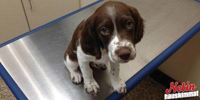 Näyttääkö koirasi tältä eläinlääkärissä? – Katso suloisen raastavat kuvat!