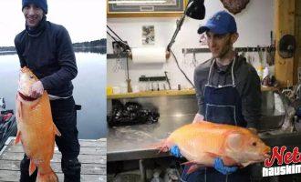 Yllättävä saalis – 17 kiloa painava kultakala!