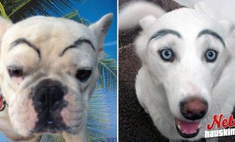 Hölmöimmät trendit internetissä! – Koirille meikataan kulmakarvat!