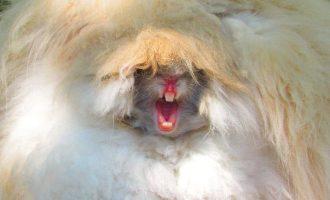 Haukotteleva jänis on kuin peto pahimmasta päästä – ainakin ulkonäöllisesti
