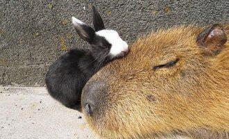 Mikä ihme on kapybara? – Ainakin se tulee toimeen kaikkien kanssa