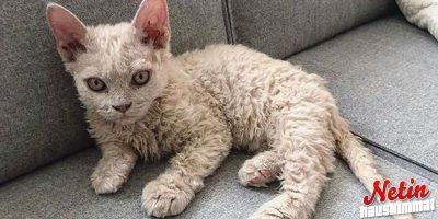 Kissa kuin puudeli! – Näyttää vihaiselta lampaalta!