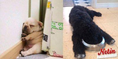 Näillä koirilla on hyvät unenlahjat – Nukahtavat minne vain!