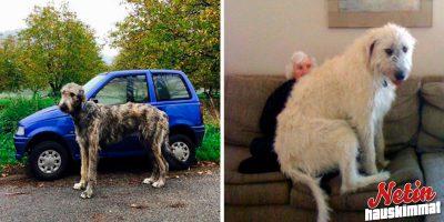 Näistä kuvista tajuat kuinka suuri koira voi olla! – Irlanninsusikoira on lempeä jättiläinen!