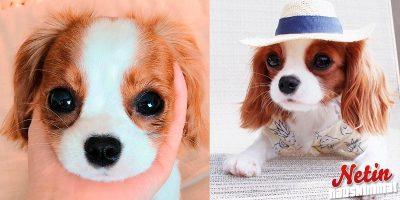 Koira muistuttaa pientä pehmolelua! – Uskoisitko sitä täysikasvuiseksi?