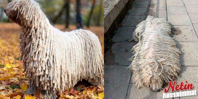 Ihmiset hullaantuivat tästä koirasta – Näyttää aivan lattiamopilta!